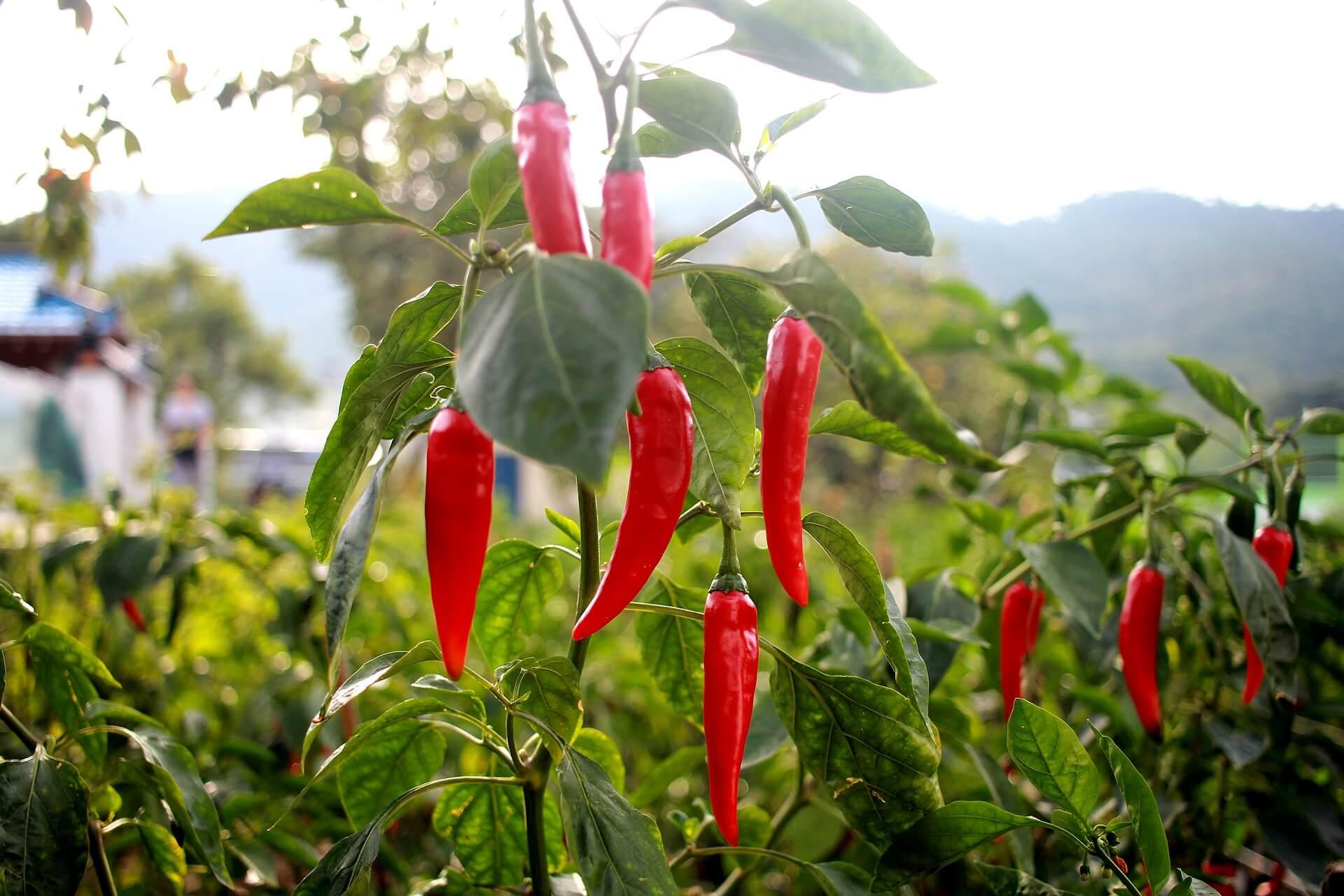 pepper-1704266_1920
